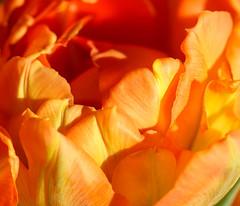 Tulip (LuckyMeyer) Tags: red orange yellow flower fleur sun spring tulpe tulip