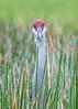 What's Up? (PeterBrannon) Tags: bird crane florda florida gruscanadensis nature polkcounty sandhillcrane tallbird wildlife closeup funnybird