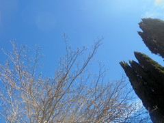 DSC01909 (classroomcamera) Tags: tree trees treetop treetops evergreen green blue sky skies cloudless branch branches wood stem stems wooden leaf leaves leafy above up down below diagonal angle angles