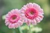 gerbera 2206 (junjiaoyama) Tags: japan flower plant gerbera pink bokeh macro spring