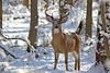 Buck (chris fotograf) Tags: deer buck statenisland