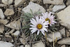 Early spring wildflower (Jeff Mitton) Tags: wildflower stemless easter daisy earthnaturelife wondersofnature