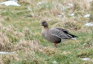 JWL5894  Pink Footed Goose...