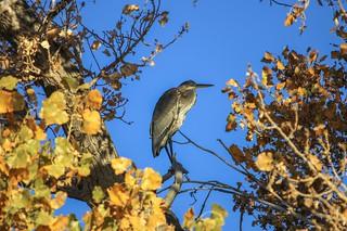 Through The Yellow Leaves To A Blue Heron (Ardea Herodias)