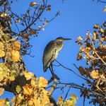 Through The Yellow Leaves To A Blue Heron (Ardea Herodias) thumbnail