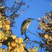 Through The Yellow Leaves To A Blue Heron (Ardea Herodias)