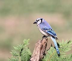 Blue Jay (Rockytopk9) Tags: cyanocitta cristata