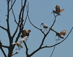 a lmn ibis DSC_0066 (eustatic) Tags: basa wildlife grn lmn