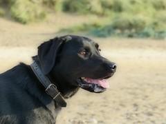 My Bear (annasandfield) Tags: labrador dog cute pet handsome beach