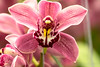 20180317-IMG_3665 (SGEOS AT EARTH) Tags: orchideeënhoeve luttelgeest butterfly vlinders orchideeën orchid hoeve nature wildlife flowers