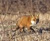 Red Fox.  Vulpes vulpes (rumerbob) Tags: redfox fox animal wildlife wildlifephotographer wildlifewatcher nature naturewatcher naturephotography pennypackenvironmental pennypack canon7dmarkii canon100400mmlens