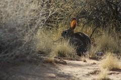 Hiding Bunny (Luke Y.) Tags: hiding bunny cottontail rabbit desert mojave socal california southern weeds ribbet