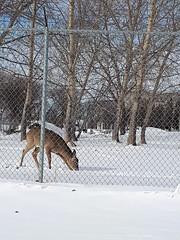 20180226_102730 (forluvofsex) Tags: deer winter snow animal daytime winnipeg feeding