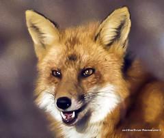 Red Fox. Vulpes vulpes (rumerbob) Tags: pennypackenvironmental pennypack redfox fox wildlife wildlifephotographer wildlifewatcher animal nature naturewatcher naturephotography canon7dmarkii canon100400mmlens
