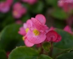 Full bloom. (natureflower photography) Tags: full bloom flowers begonia pink sweet