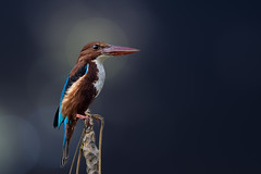 The King... (chandra.nitin) Tags: animal bird nature outdoor whitethroatedkingfisher wildlife garjiya uttarakhand india