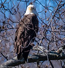 20180315_EAGLE_D85_5627 (Bonnie Forman-Franco) Tags: eagles eagle water trees snow raptor birdofprey photoladybon bonnie awesomenature nature naturephotography naturephotographer outdoorphotography
