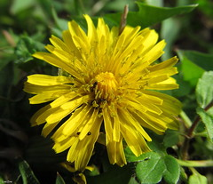 A Little Bit Of Whoville (Lisa Zins) Tags: lisazins tn tennessee flower flowersoftennessee outdoors canon powershot sx150 macro ant dandelion yellow spring weed asteraceae taraxacum perennial