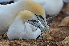 Australasian Gannet pair_6976 (Morus serrator) (Neil H Mansfield) Tags: bird nature gannet colony native sea portland victoria australia flight australiangannet australasiangannet morusserrator