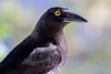 2016-11-18 (annepirard) Tags: birds currawong bird black noir australian oiseau oiseaux