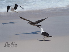 Three Birds (jan-krux photography - thx for 2.5 Mio+ views) Tags: gull seagull diasbeach capemaclear southafrica westerncape capeofgoodhope kapdergutenhoffnung westkap suedafrika southatlantic atlantischer ozean suedatlantik vogel bif tier bird birdinflight vogelflug kueste sand sea ocean meer olympus omd em1mkii leben frei wild brandung adult erwachsen juvenile jung jugentlich