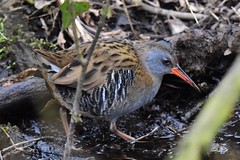 Water rail (ChrisPy63) Tags: britishbird uk outside nikond7200 nikon rspbleightonmoss rspb silverdale lancashire waterrail rail birds bird nature