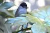 Capinera _002 (Rolando CRINITI) Tags: capinera uccelli uccello birds ornitologia arenzano natura