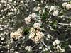 2018.03.02 - buckbush (JBYoder) Tags: angiosperm buckbush california ceanothus ceanothuscuneatus dicot flora malibu rhamnaceae santamonicamountains