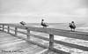 The Three Amigos (ChrisF_2011) Tags: birds pelican brownpelican blackandwhite monochrome threeamigos amigos florida pier windyday