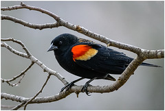 46 - Red Wing Blackbird