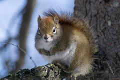 Écureuil roux, Québec, Canada - 5179 (rivai56) Tags: villedequébec québec canada ca écureuilroux squirrel écureuil sonyphotographing regard mignon roux