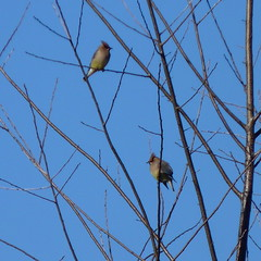 Cedar Waxwings (Dendroica cerulea) Tags: cedarwaxwing bombycillacedrorum bombycilla bombycillidae bombycilloidea passerida passeri passeriformes psittacopasserae eufalconimorphae neoaves neognathae neornithes aves bird waxwing spring irelandbrookconservationarea eastbrunswick middlesexcounty nj newjersey
