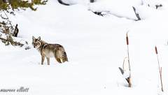 Wiley Coyote (maureen.elliott) Tags: coyote animal fauna wildlife winter yellowstonenationalpark 7dwf wyoming lookingback outdoors nature snow