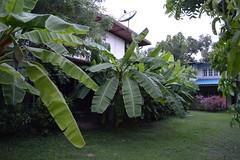 our banana plantation (the foreign photographer - ฝรั่งถ่) Tags: banana plants our house yard bangkhen bangkok thailand nikon d3200