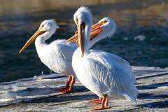 American white pelicans (dpsager) Tags: americanwhitepelican brookfield brookfieldzoo dpsagerphotography pelican zoo zoosofnorthamerica vividstriking