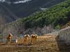 Andorra rural: Sant Julia, Gran Valira, Andorra (lutzmeyer) Tags: 90mm andorra calboufontaneda carreteradefontanedacs140 europe gebirge granvalira iberia iberianpeninsula lutzmeyer pirineos pirineus pyrenees pyrenäen santjuliadeloriaparroquia animal berge bild cavall cavalls foto fotografie freizeit gebirgszug haflinger hipica hivern horse horseriding horses iberischehalbinsel image imagen imatge invierno landscape landschaft leasure leisure lliure lutzlutzmeyercom marc march marzo mfmediumformat montana montanas mountains muntanyes märz natur natura nature paisaje paisatge pferde photo photography picture reitstall rural sonnenaufgang sortidadelsol sunrise valley winter fontaneda santjuliadeloria