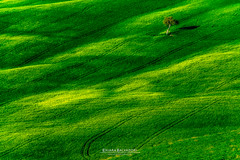 Green sea and lonely sailor (Chiara Salvadori Ph) Tags: tuscany valdorcia sanquiricodorcia travelphotography italy toscana agriculture beautiful cipress colors country crete farmland field grass green hill landscape light lonely mist nature outdoors places premium scenery siena sky spring sun tourism travel traveling tree trip unesco wheat wine