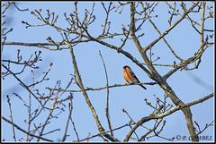 _DSC0028_Bouvreuil pivoine (patounet53) Tags: bouvreuilpivoine eurasianbullfinch fringillidés passériformes pyrrhulapyrrhula bird oiseau