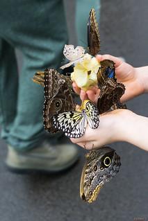 Papillons en fête, Québec, Canada - 5018