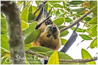 Mauritian Flying Fox Fruit Bat (Pteropus Niger)