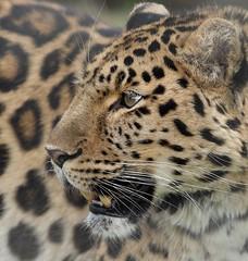 Drake.....posing (joannekerry) Tags: amurleopard leopard cats bigcats yorkshirewildlifepark wildlife canon