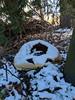 A Dusting (Just Say Jules!) Tags: snow winter saginawmichigan decomposing jackolantern pumpkin