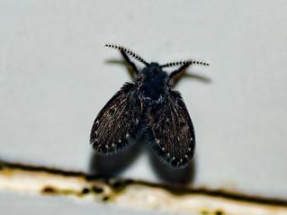 Clogmia albipunctata - Drain Fly / Filter Fly (Williston, 1893)