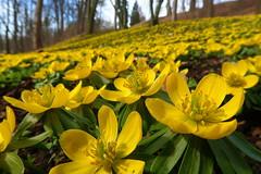 Eranthis / Talovín zimní (ZdenHer) Tags: eranthis flower landscape park