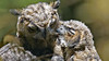 Parent child Dynamic (photosauraus rex) Tags: birds owl ghowl greathornedowl owlet owletwithmother vancouver bc canada