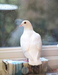 It's raining outside. (the.haggishunter) Tags: pet tame white dove pigeon perch window rain