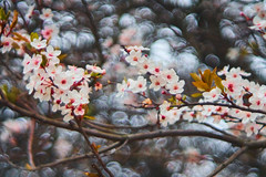 Hello Blossom, or Gidday Possum (michaelasss) Tags: blossom bokeh projector lense spring cherry blossoms vintage meyer optik gorlitz 80mm f28 brighton hove england east sussex tree the level grand parade street roadside 3d print art fine fixed diaplan