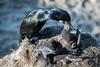 Dinner Time - Brandt's Cormorant (halladaybill) Tags: brandtscormorant chicks lajolla lajollacove nesting nestling california unitedstates us nikond850 nikkor80400zoomlens sandiegocounty