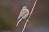 Luì piccolo _014 (Rolando CRINITI) Tags: luìpiccolo uccelli uccello birds ornitologia arenzano natura