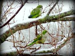 Birds At Snowstorm: Monk Parakeets (dimaruss34) Tags: newyork brooklyn dmitriyfomenko image winter snow snowstorm snowfall tree branch branches bird birds monkparakeet
